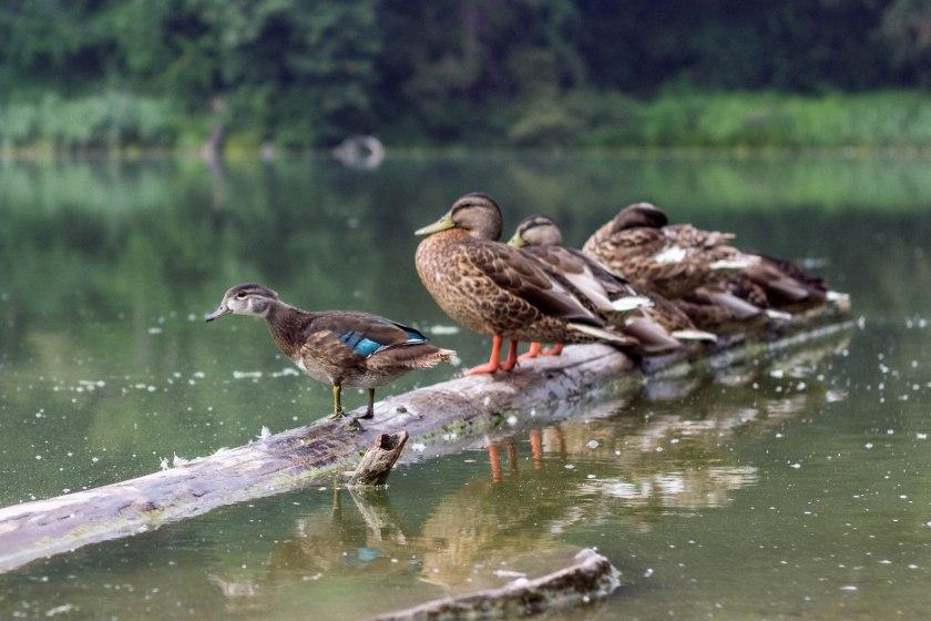 High Park Ducks